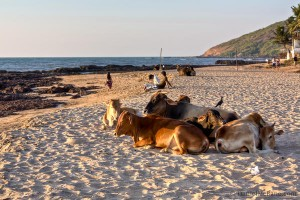 Cows Anjuna Beach