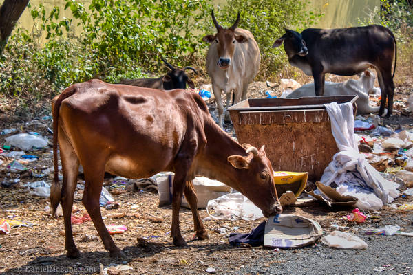 Cows Eating Garbage Goa