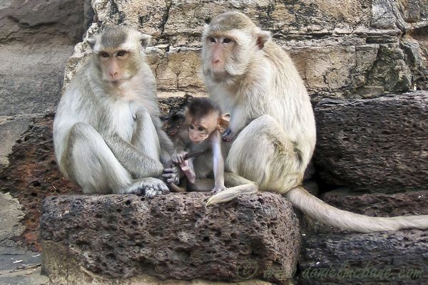Family of Monkeys in Lop Buri Thailand