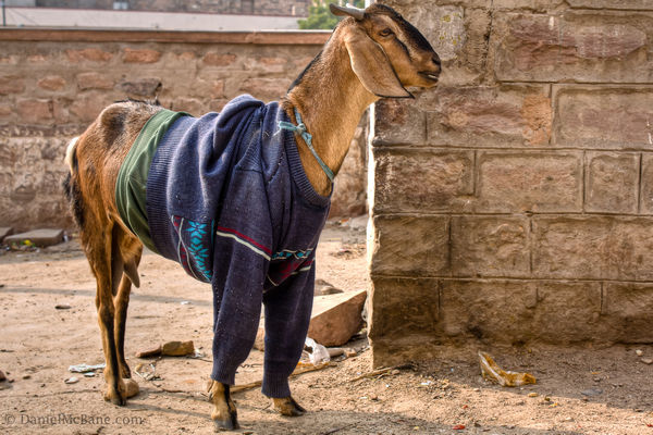 Goat Clothes Jodhpur India