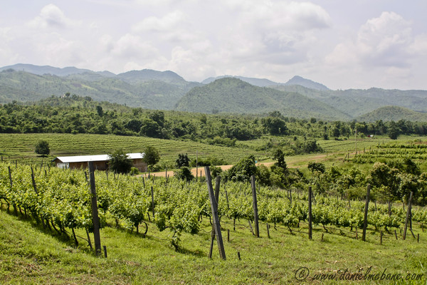 Vineyard at Inle Lake in Myanmar