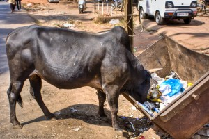 Indian Cow Eating Trash From a Dumpster