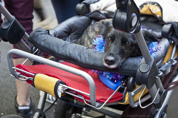 Dog in Baby Carriage