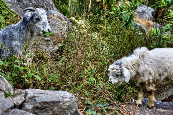 Baby goat and mother near Tal Nepal