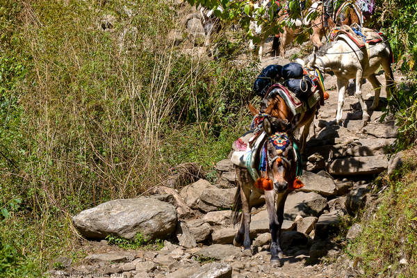 Donkey Train on the Annapurna circuit trek