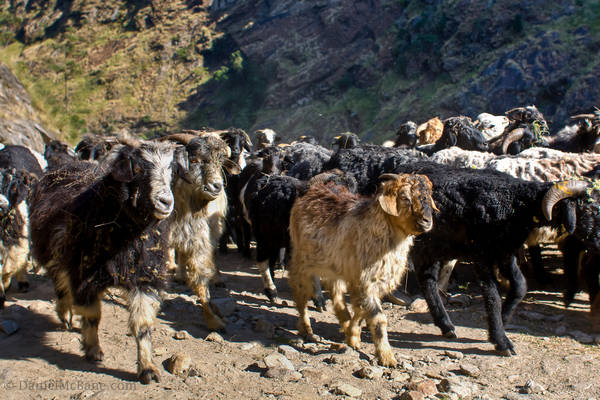 Goats on the new annapurna road