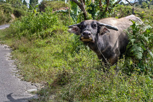Water buffalo on Samosir Island in Indonesia
