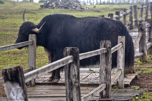 yak near Lijiang in Yunnan China