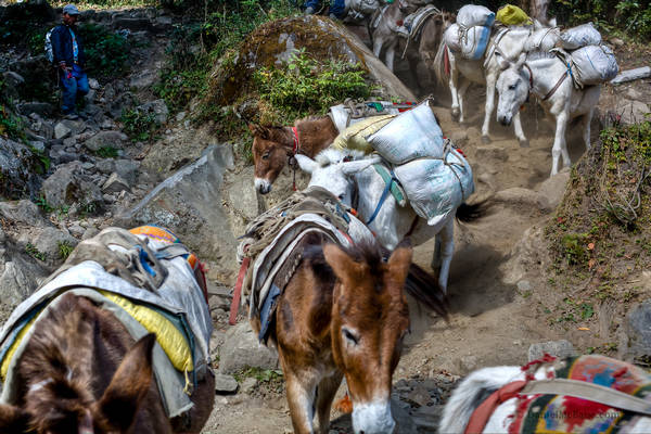 Donkeys on the Annapurna Circuit