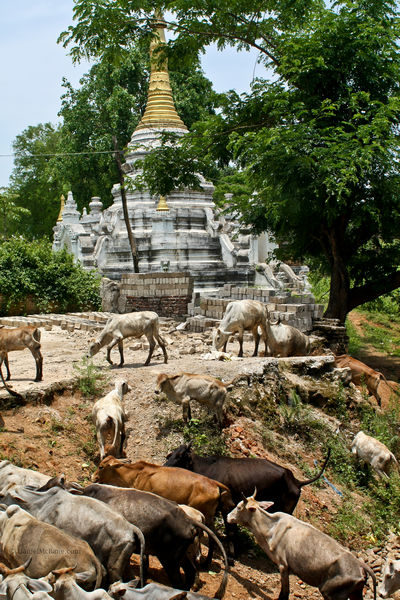 Cows in Hsipaw in rural Myanmar