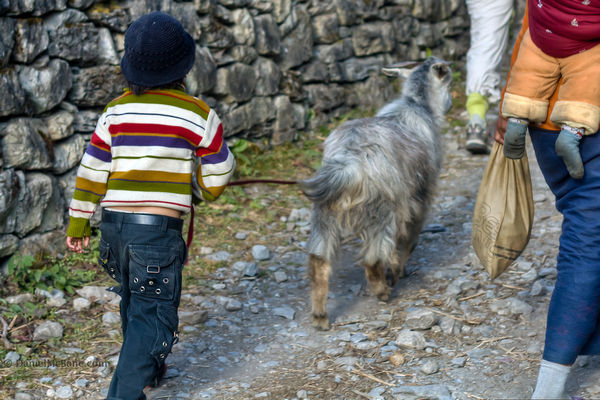 Tibetan boy walking a goat in Nepal