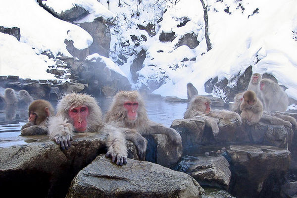 Monkeys in onsen in Japan