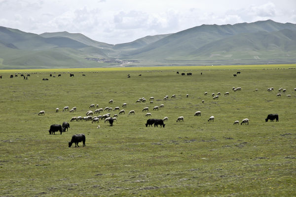 Animals grazing in grasslands of Sichuan China
