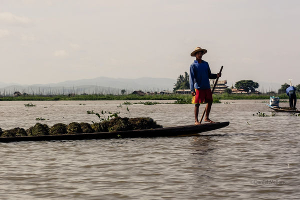 Guy harvesting weeds from Inle Lake bottom