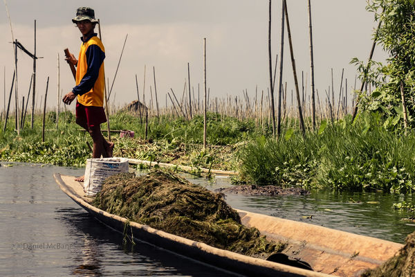 a leg rower in Inle Lake's floating gardens