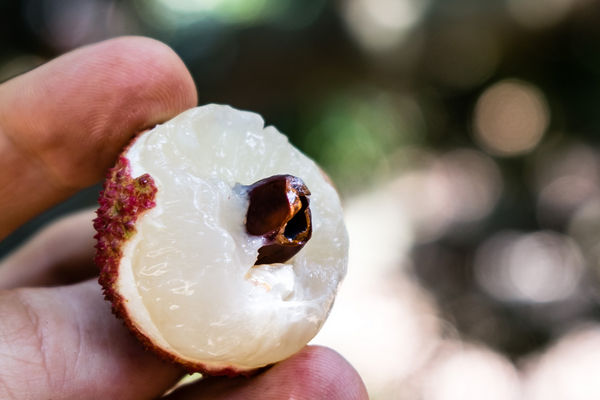Pit or seed inside a lychee