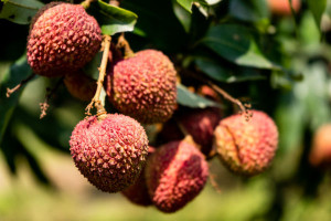 Lychees on a tree at Shenzhen, China farm