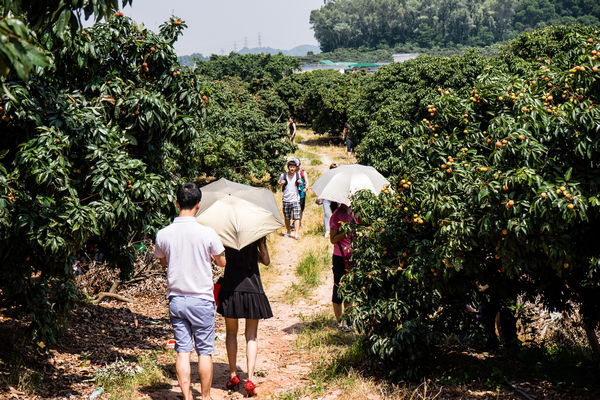 Chinese picking lychees at farm in Shenzhen