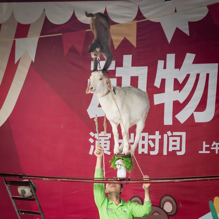 Goat balancing on vase with monkey on head