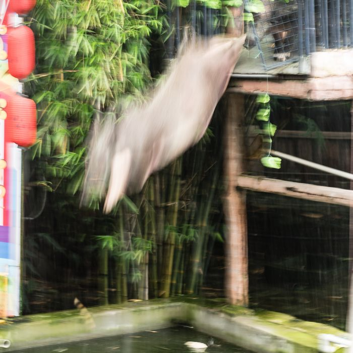 Pig jumping into water at Shenzhen animal show