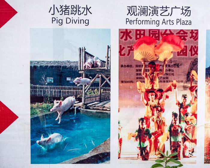 pig diving show at an amusement park zoo in Shenzhen