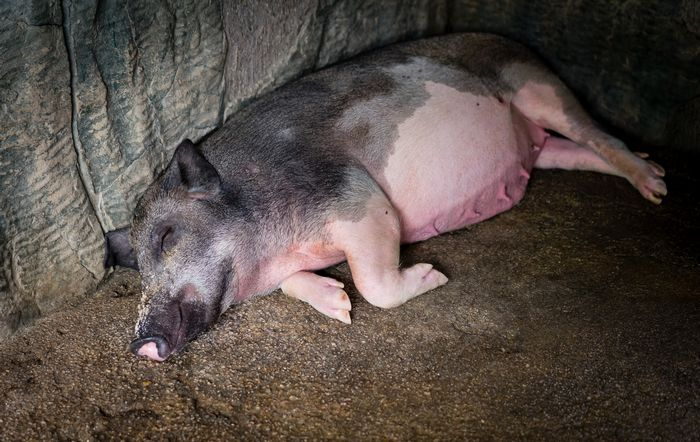 A pig sleeping in a Chinese zoo