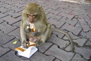 Thieving Monkey in Lop Buri Thailand