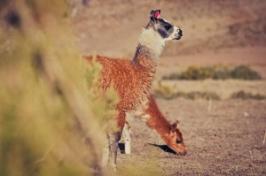 Two Headed Llama